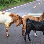 Incidente stradale causato da animali selvatici: il risarcimento danni